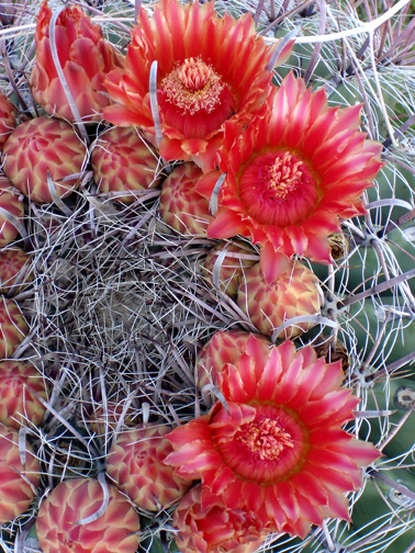 Barrel Cactus Red Blooms image