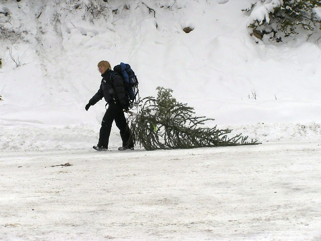 Sometimes Christmas tree hunting can be an individual sport.
