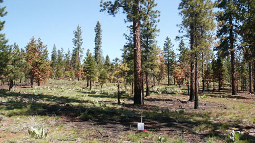 Mechanically treated timber stand 1 year after wildfire.