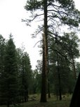 Ponderosa pine struck by lightning.