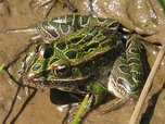 The northern leopard frog (rana pipiens) is a Forest Service sensitive species.