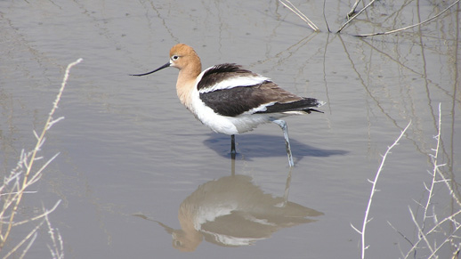 A bird with a long upward curved beak stands in shallow water