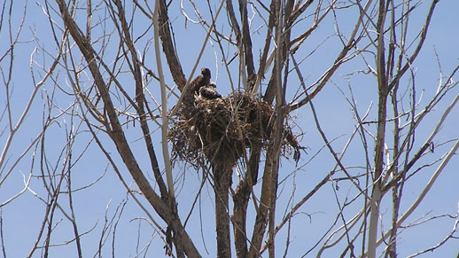 A bird nest high in a leafless tree
