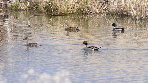 Two Pintail and two Mallard swim in a quiet pond