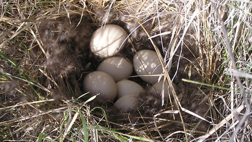 Six eggs in a birds nest