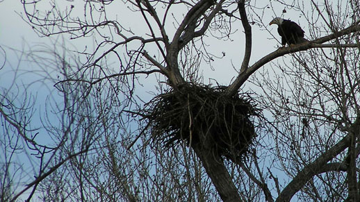 A Bald Eagle sits in a tree next to a nest