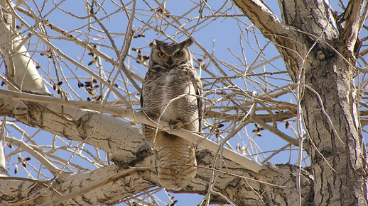 A Great Horned Owl watches from a tree
