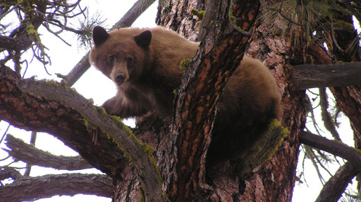 A Black Bear seeks protection in a tree