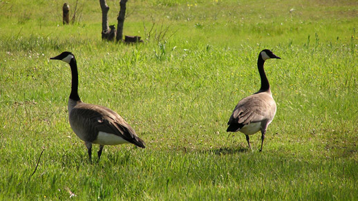Two Canada Geese stand in a field