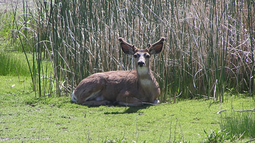 A deer is shown laying down next to tall reeds