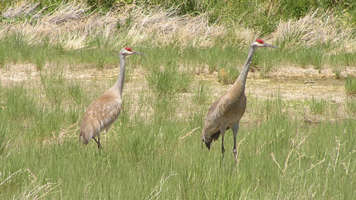 Two cranes stand in a field of tall grass