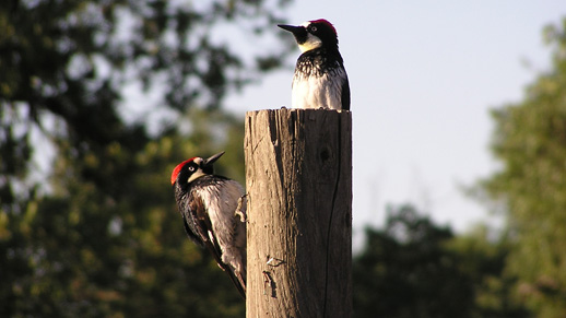 Two woodpeckers are shown on what appears to be a post