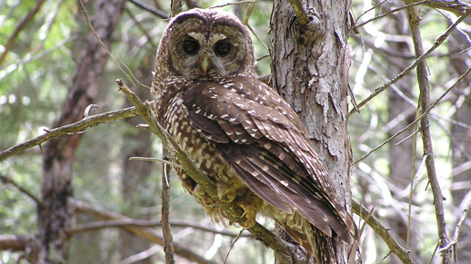 A spotted owl is looking at the photographer from a tree