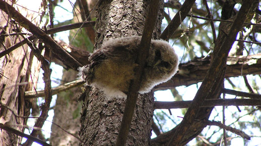 A spotted owl chick is shown in a tree