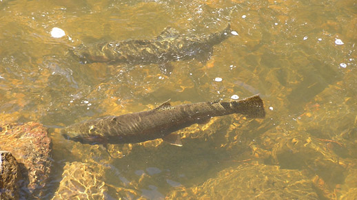 Two large fish are shown swimming in clear water