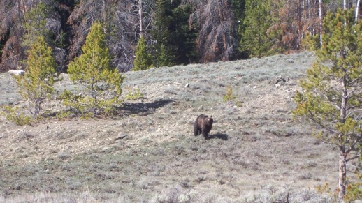 Gros Ventre Wilderness is Bear Country