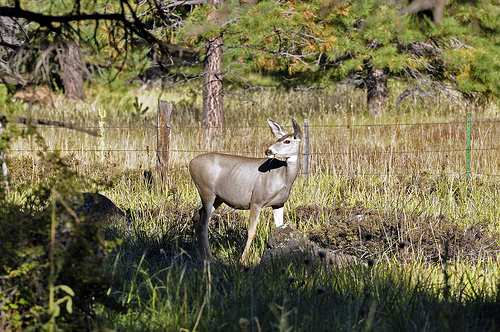 A mule deer seen from Forest Road 151 in the Hart Prairie area of Coconino National Forest.