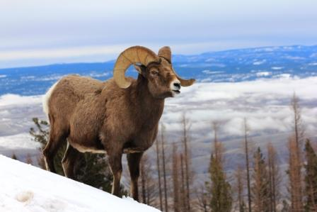 Big Horn Sheep on Snow Covered Ridge