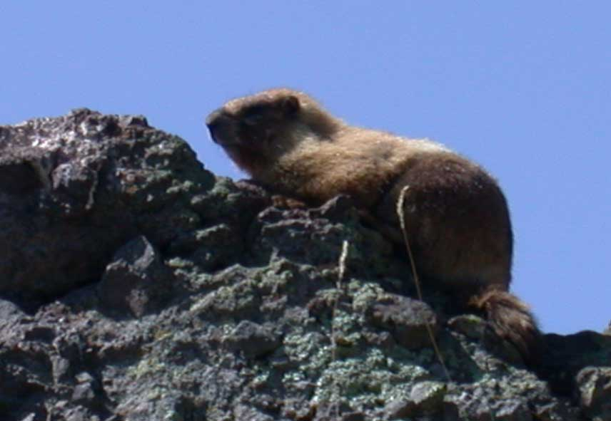 Marmot on Summit Trail 67 from Williams Lake