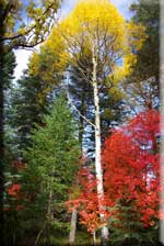 Fall Colors on the Mogollon Rim thumbnail