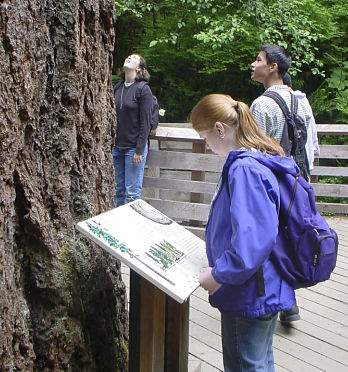 Visitors view the big tree on the Quinalt Nature Trail.