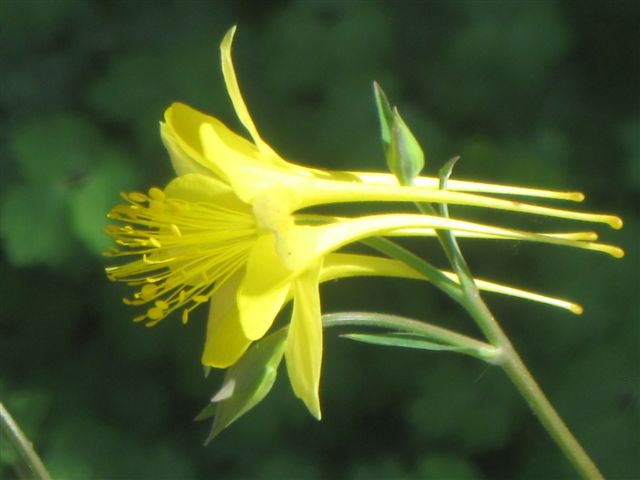 Closeup view of a Yellow Columbine flower
