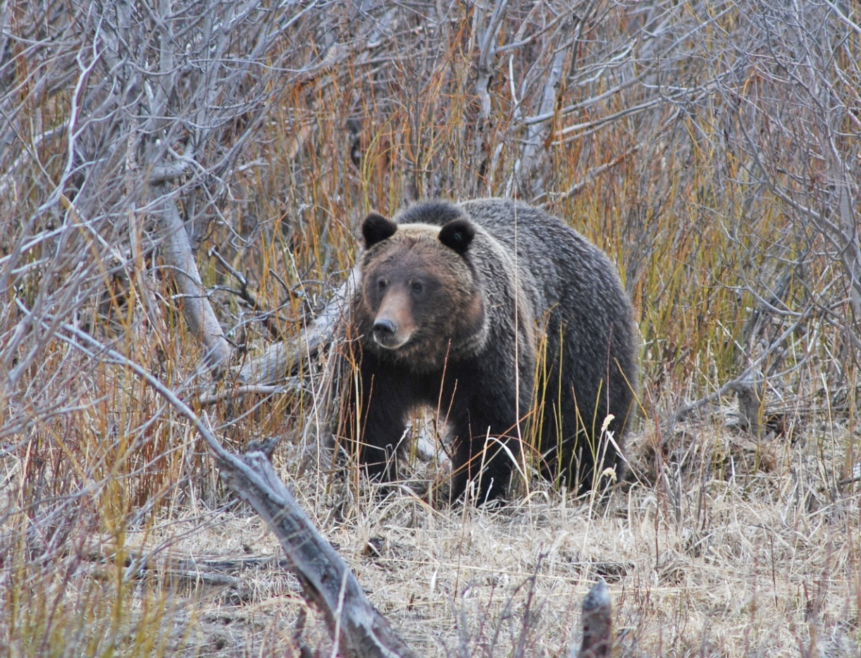 A grizzly bear with characteristic rounded ears and shoulder hump walks along willows in a valley bottom.