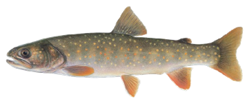 Illustration of a bull trout by J. Tomelleri