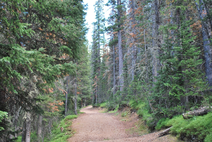 Bark beetle trees, mixed with pine trees and ground covers, are on the sides of the trail.