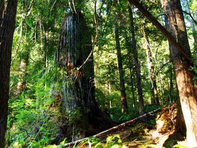 Big snags are part of the features of mature old-growth forests.