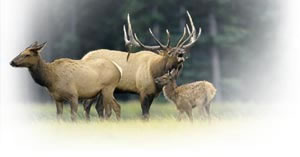 Elk in the morning mist