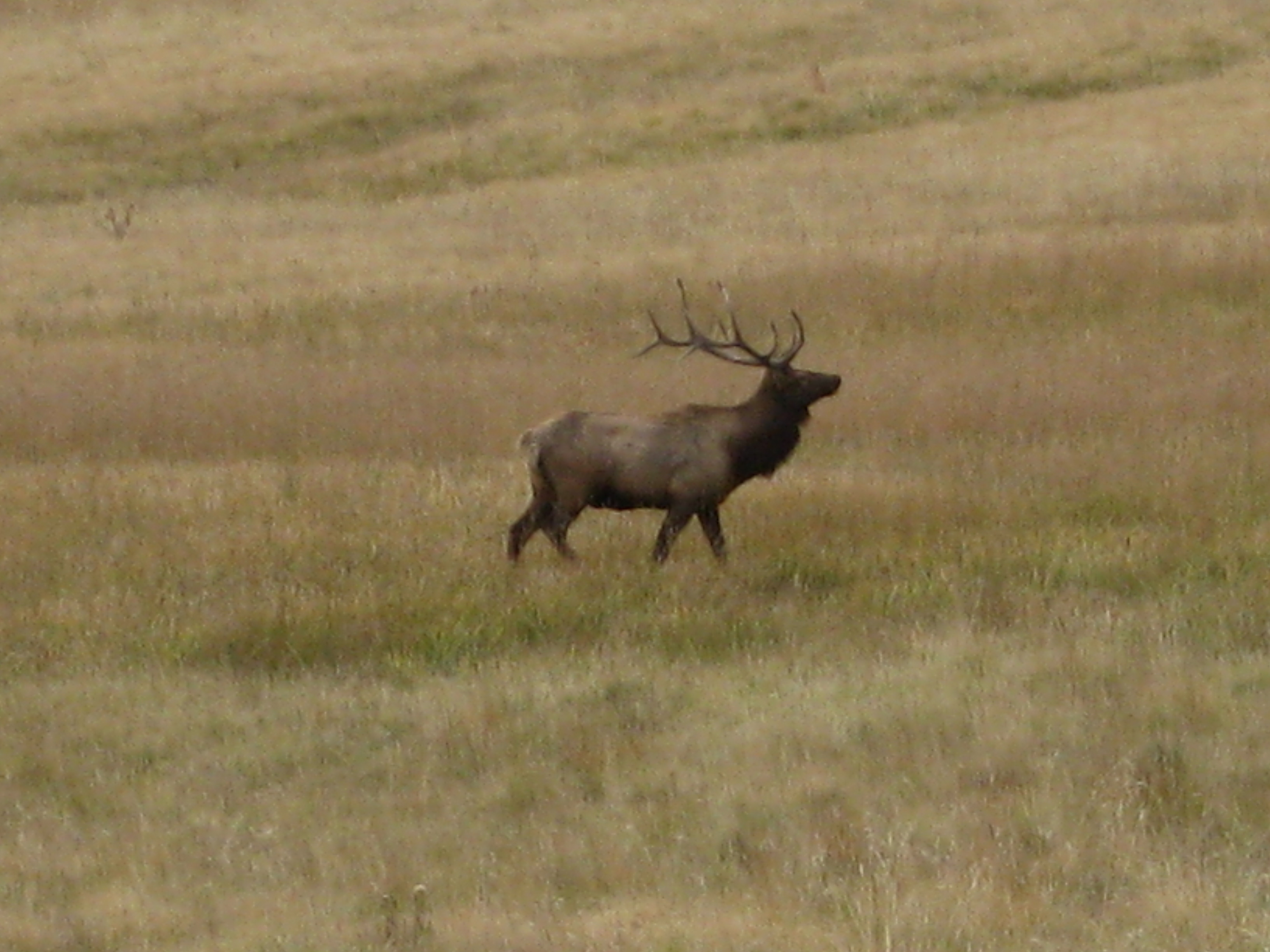 Bull elk in a meadow on the Santa Fe National Forest
