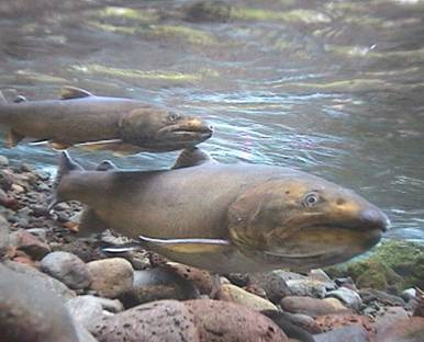 Salmon and other aquatic wildlife depend on healthy watersheds.
