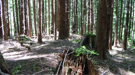 Olympic National Forest area H32 before thinning