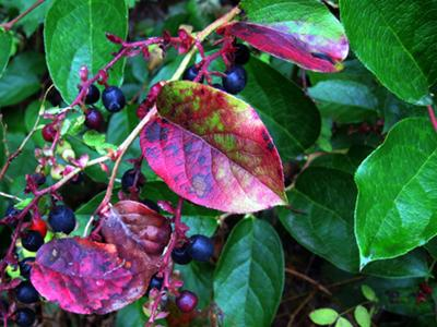 Salal- Berries produced by this shrub are eaten by wildlife and collected by people.