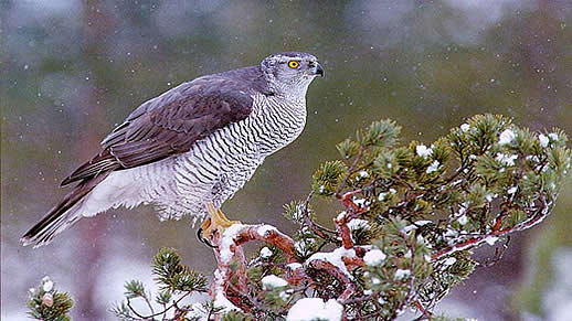 Goshawk photo by Wendy Magwire.