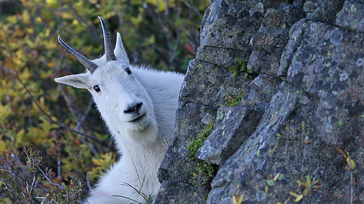 Mountain goat peeking around a rock, photo by Tom Kogut.