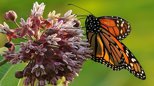 Monarch butterfly photo by Jay Martin.