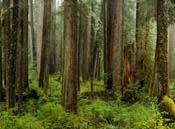 Mystic forest in the Quinault area, Courtesy Larry Workman-QIN