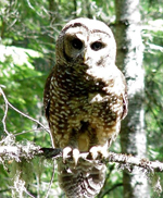 Spotted Owl by Cheryl Carrothers