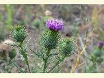 Close up photo bull thistle