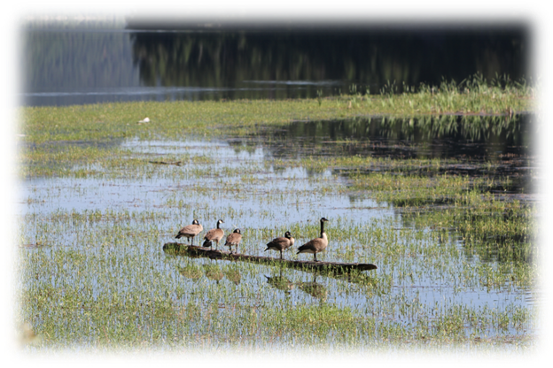 Photo: Geese setting on a log at Sullivan Lake