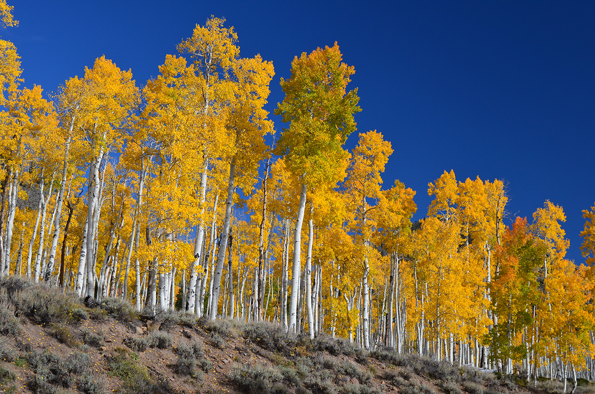 A stand of aspen trees in fall color