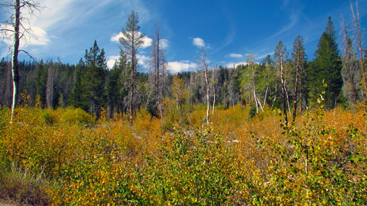 Foreground of vibrant colors on young aspen trees with pine trees on the background.