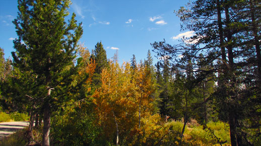 Pine trees flanked by aspen trees, which show reddish-yellowish leaves.