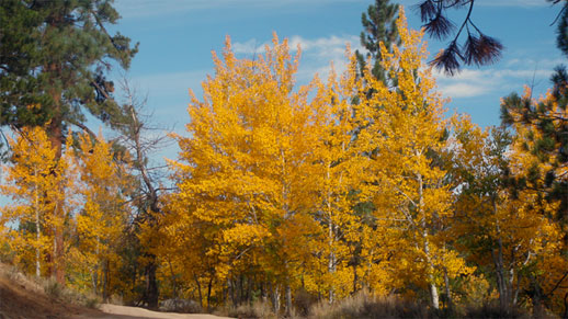 Oak and aspen trees showing red and yellow colors.