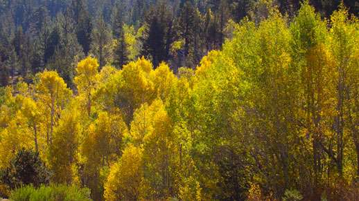 Row of trees displaying hues of yellow and and light green leaves.