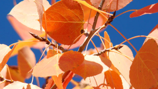 Close-up of aspen leaves displaying reddish-orange hues against an intense blue sky.