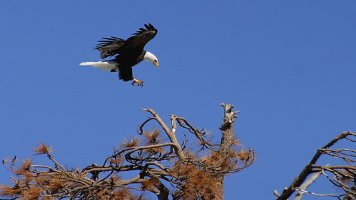 Bald Eagle lands near Big Bear Lake.