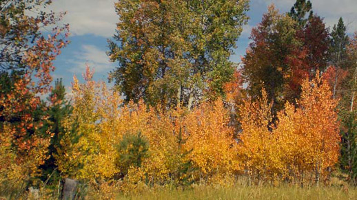 Aspen trees show hues of yellow and orange with grassy field on the foreground and forest on the background.